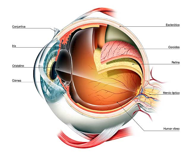 Sistema sensorial anatomia