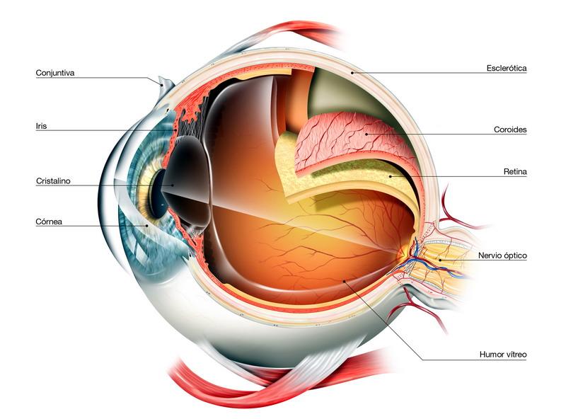Partes y Funcionamiento del Ojo - Clínica Dr. Soler | Innova